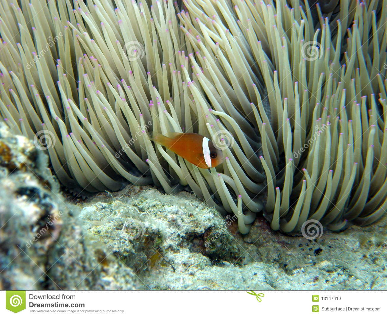 Displaying (16) Gallery Images For Purple Clownfish...