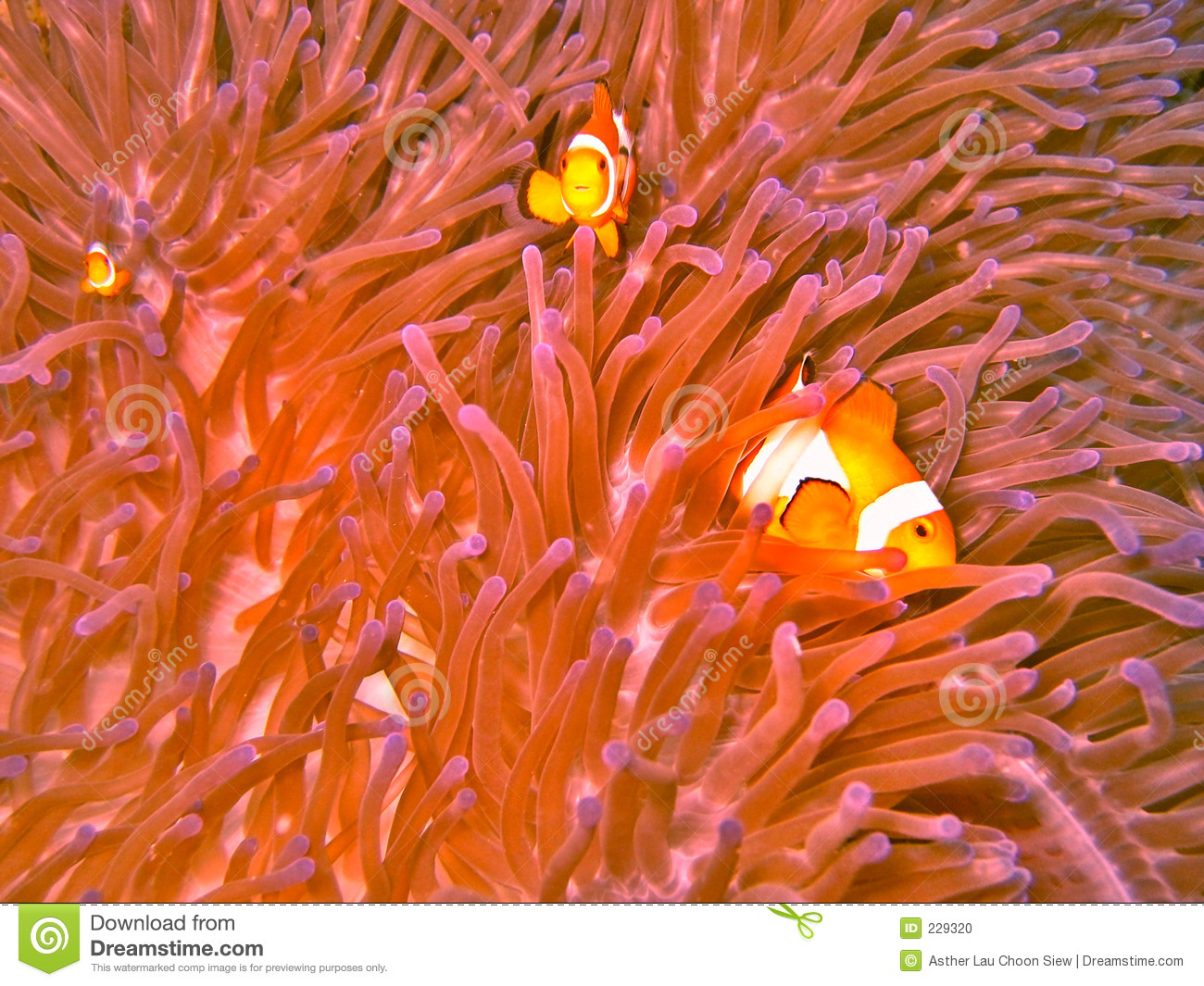 Clown fish and sea anemone stock photo image of tentacled for Clown fish habitat