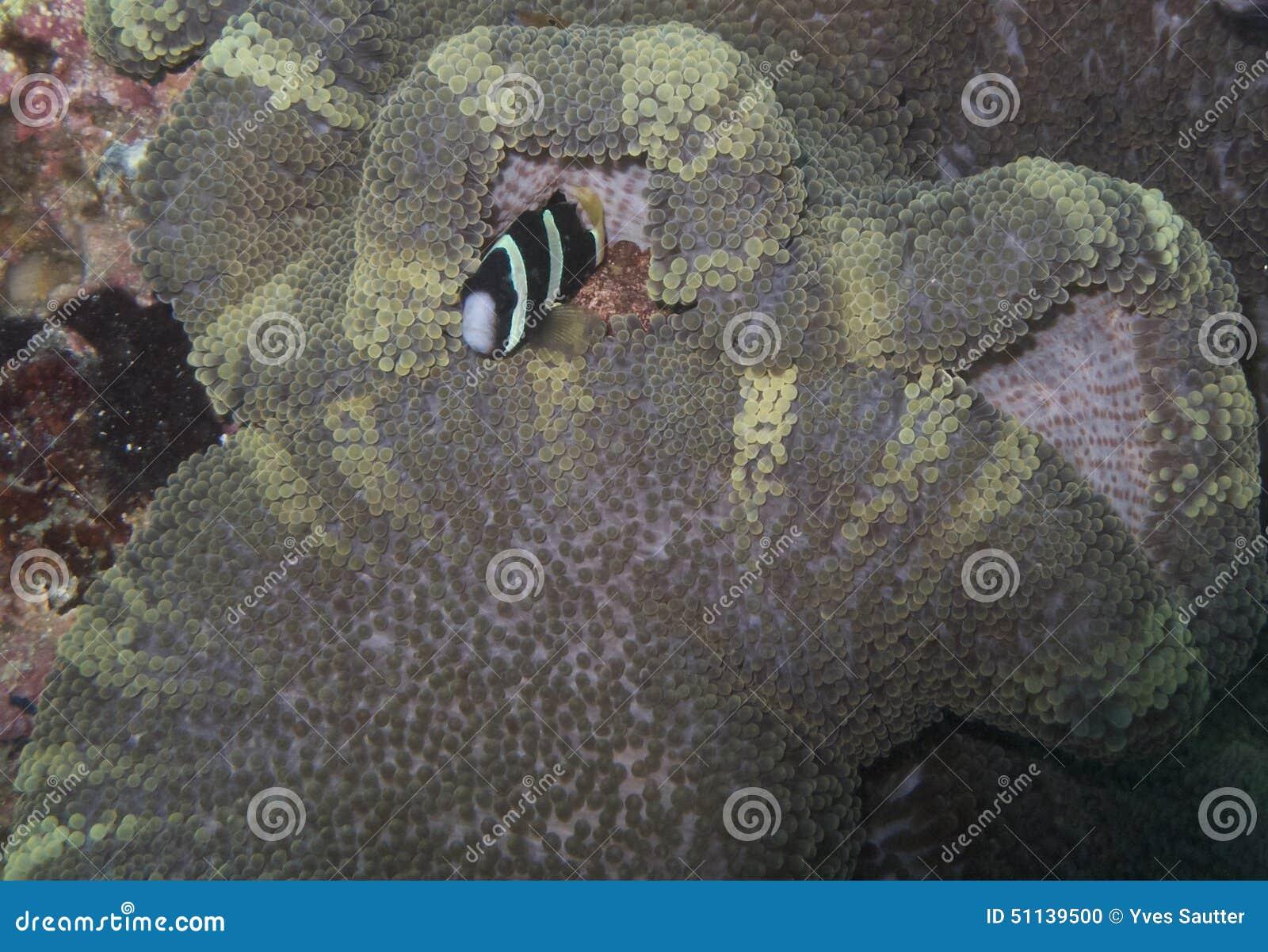 Clown Fish in Zeldzame Anemoon, Balicasag-Eiland, Bohol, Filippijnen