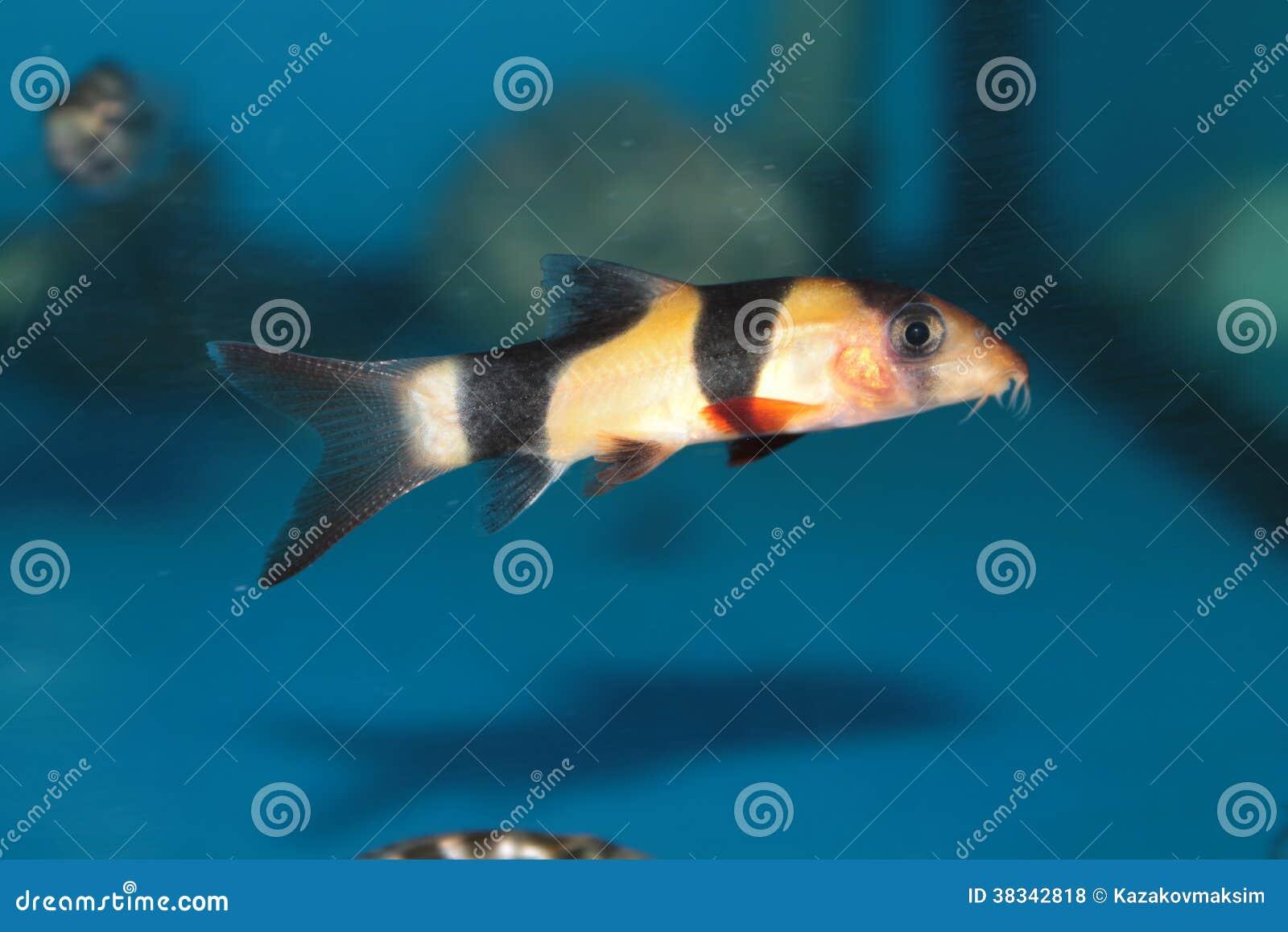 Freshwater aquarium fish loach - Clown Loach Botia Macracantha Freshwater Aquarium Fish