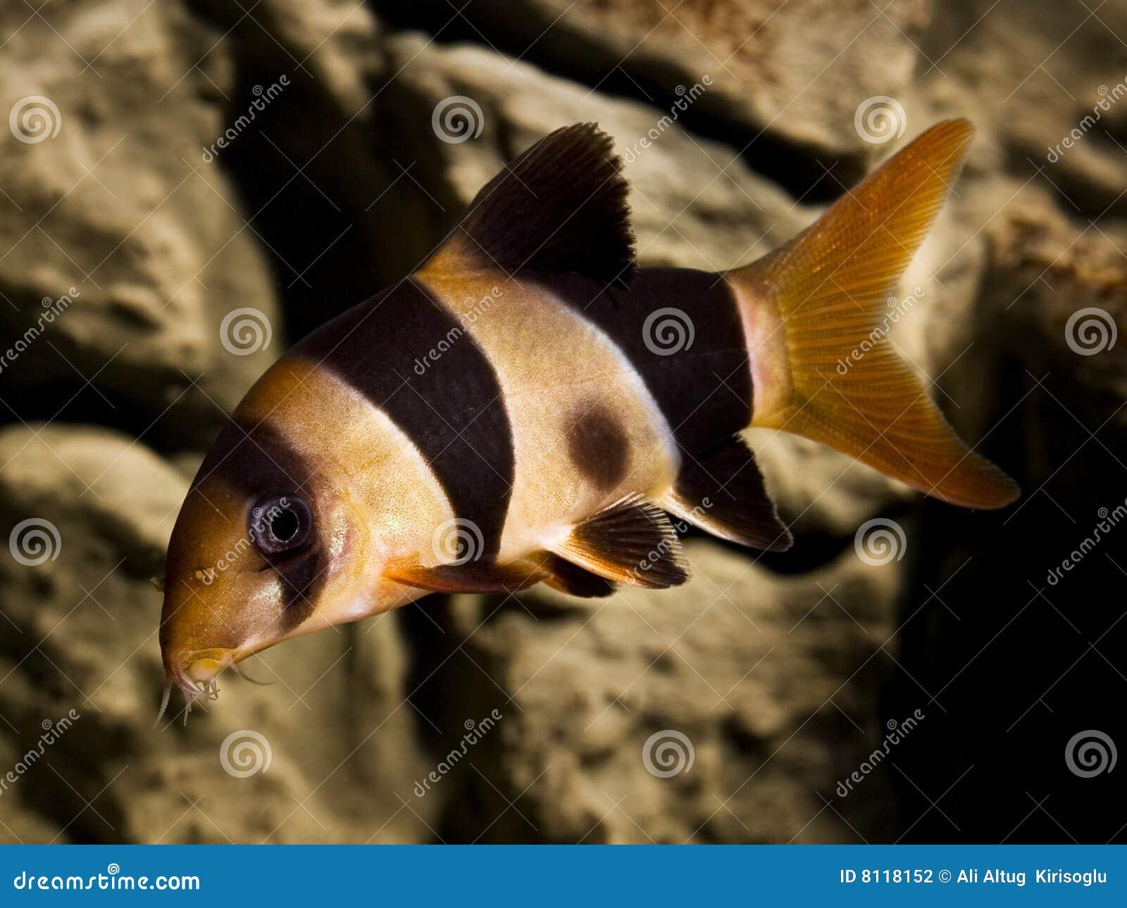 Clown loach fish botia macracantha stock photo image for Clown loach fish