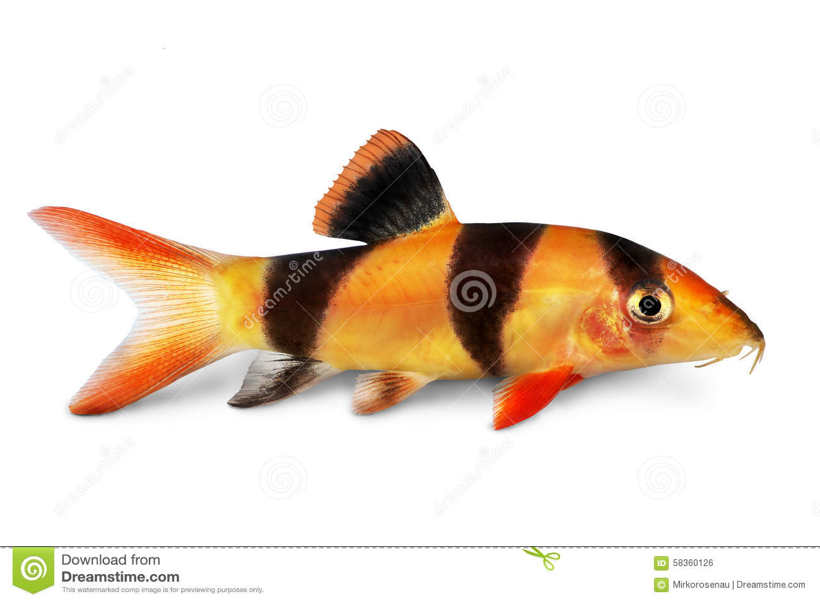 Clown loach tiger botia catfish botia macracanthus for Clown loach fish