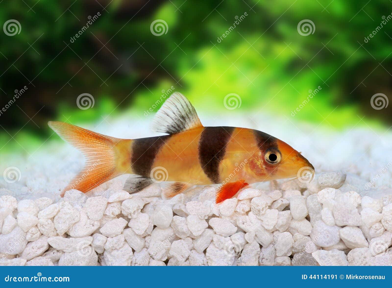Freshwater aquarium fish loach - Clown Loach Tiger Botia Catfish Botia Macracanthus Stock Image