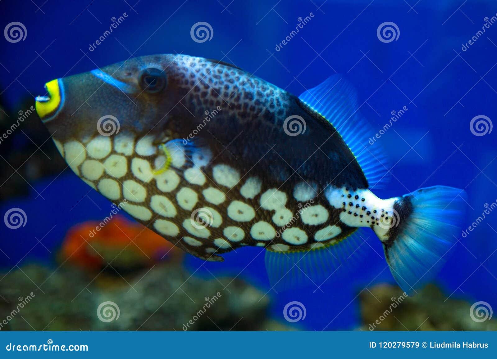 Clown Triggerfish, beschmutzter Triggerfish schwimmt im Aquarium