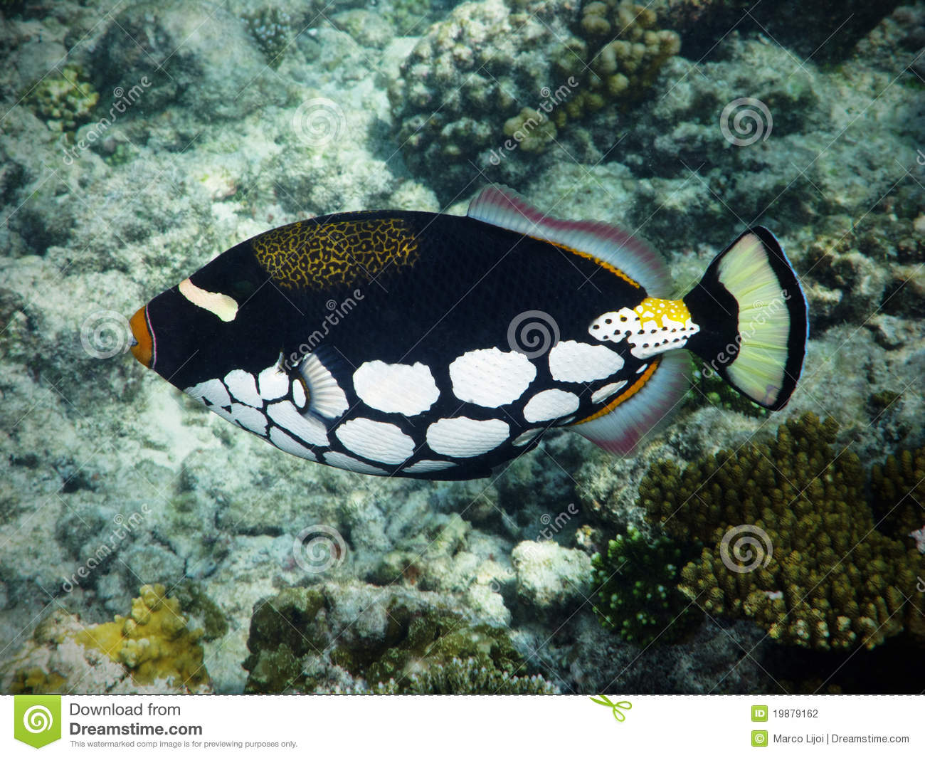 Clown triggerfish in Maldives