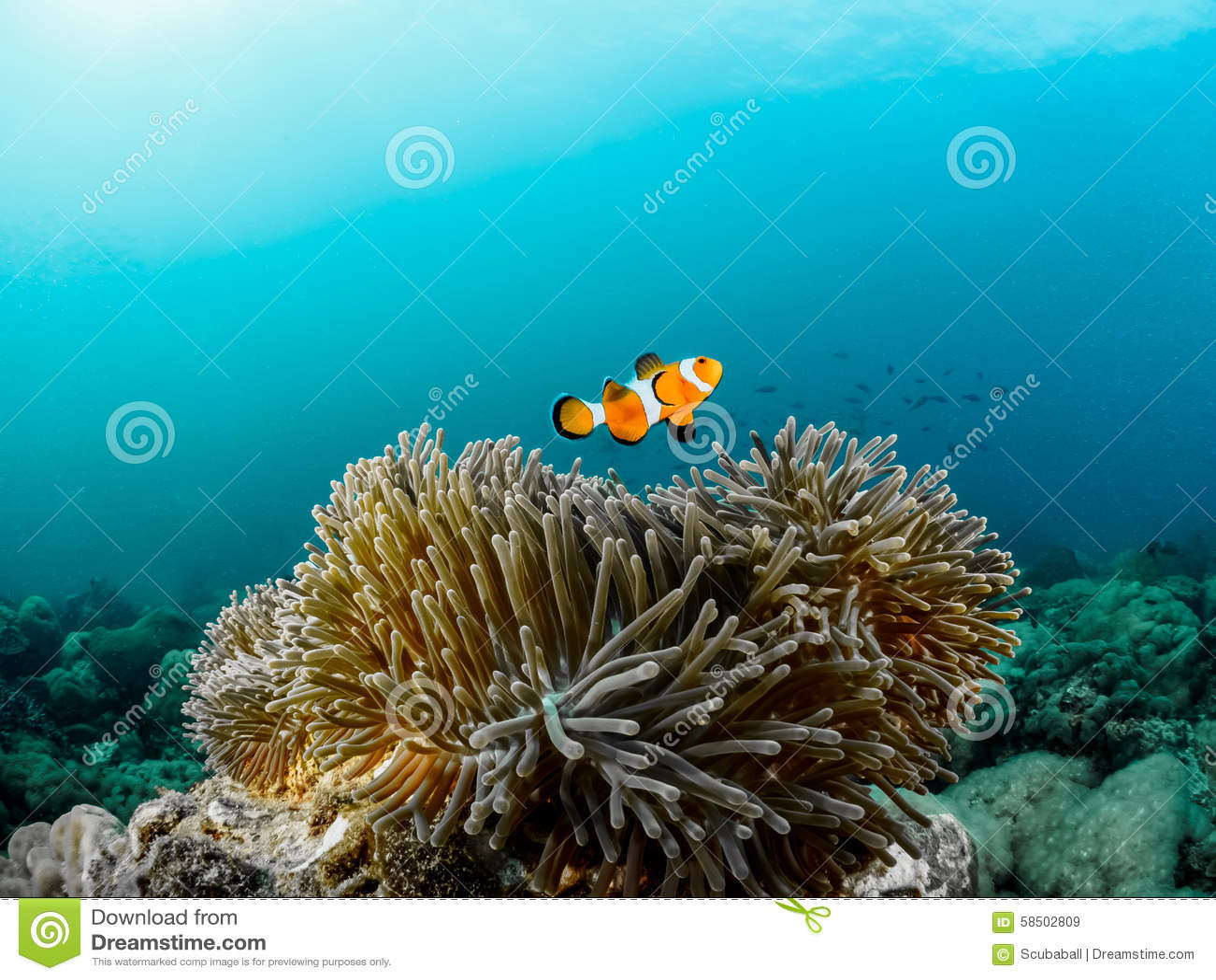 Clownfish和银莲花属