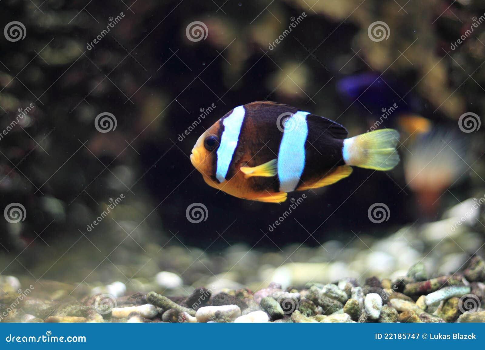 Clownfish à queue jaune