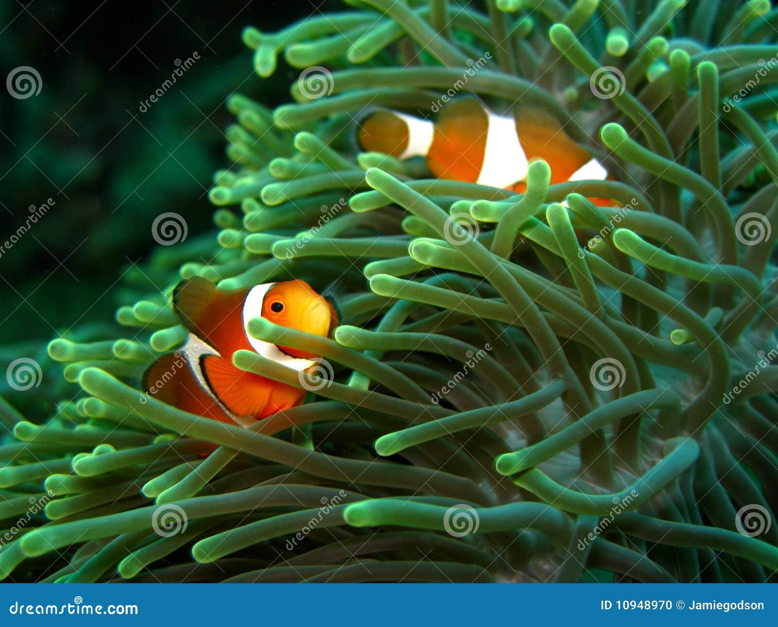 Clownfish ветреницы