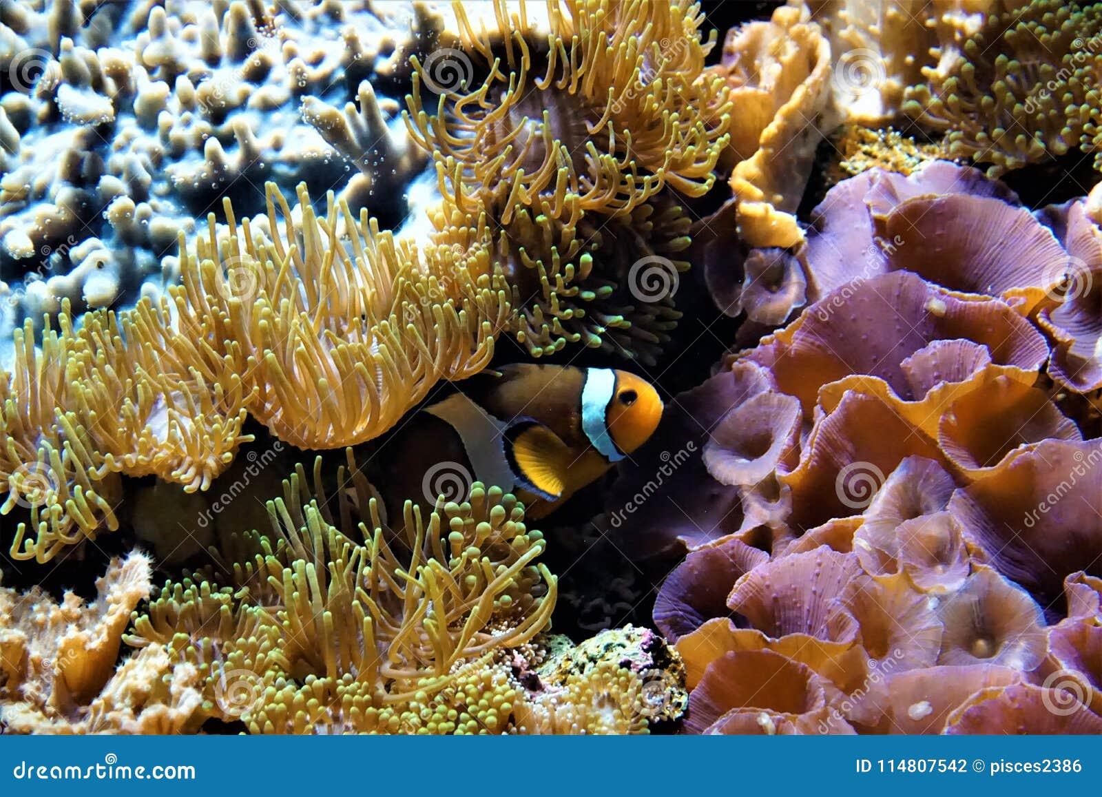 Clownfish пряча между ветреницами
