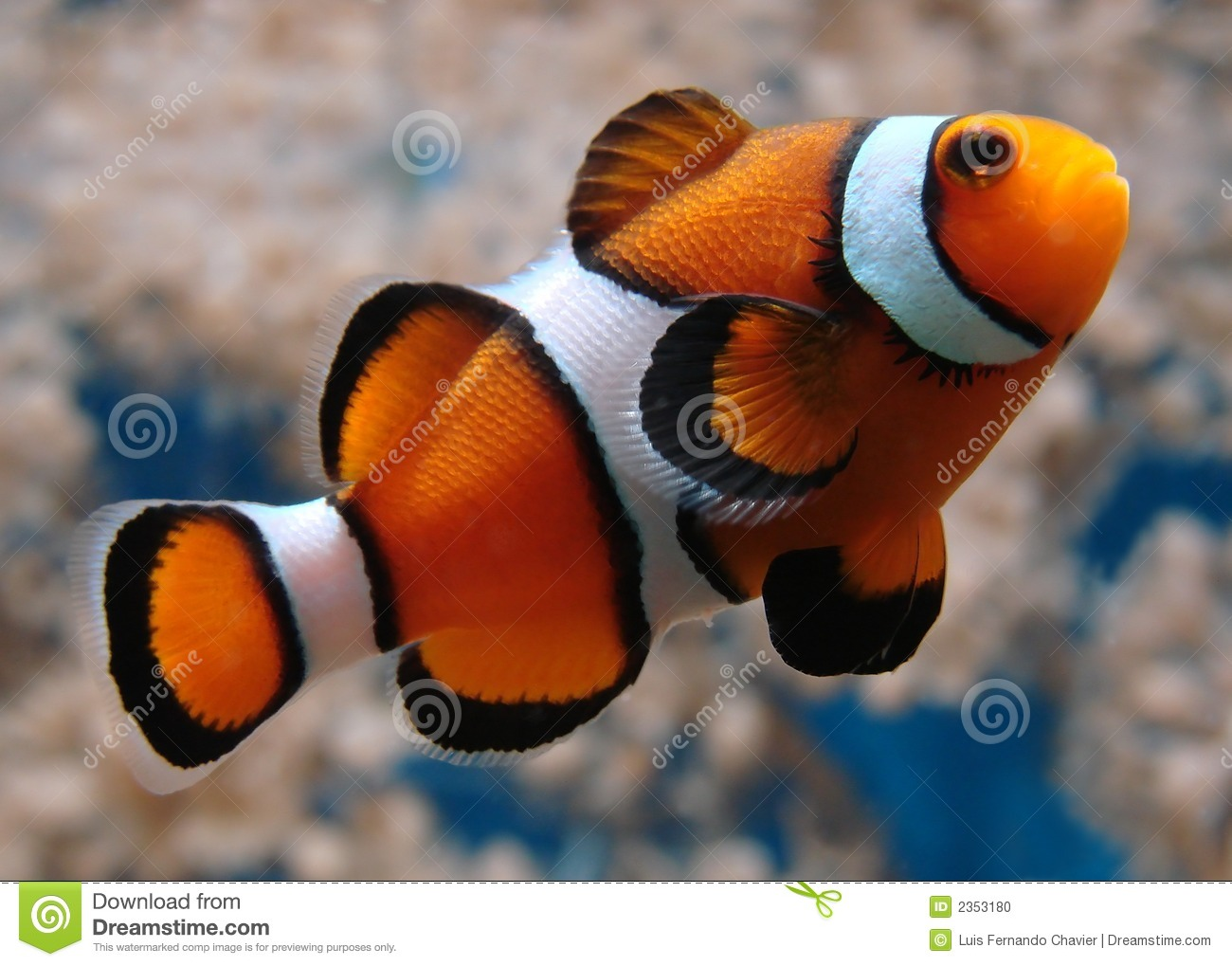 Clownfish stock photo image 2353180 for A clown fish