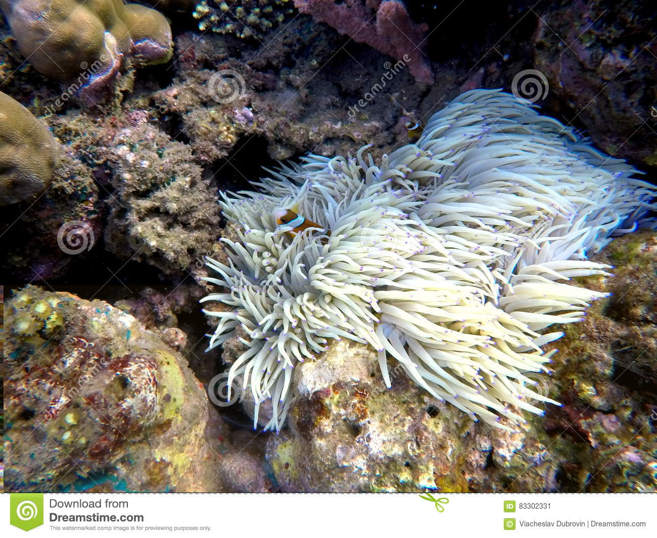 Clownfish in actinia plant inside a round coral. Orange and white striped clown fish