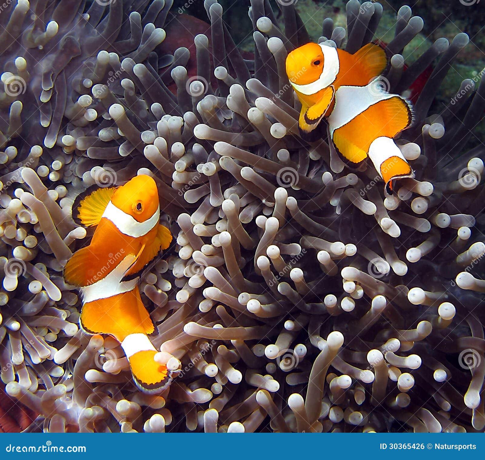 Lankayan Island: Clownfish Stock Photo. Image Of Animal, Coral, Fishes