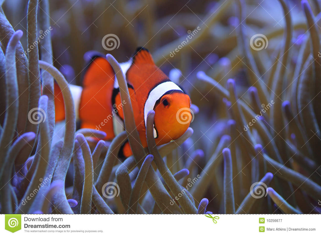Clownfish Amphiprion Percula In Host Sea Anemone Stock Image - Image ...