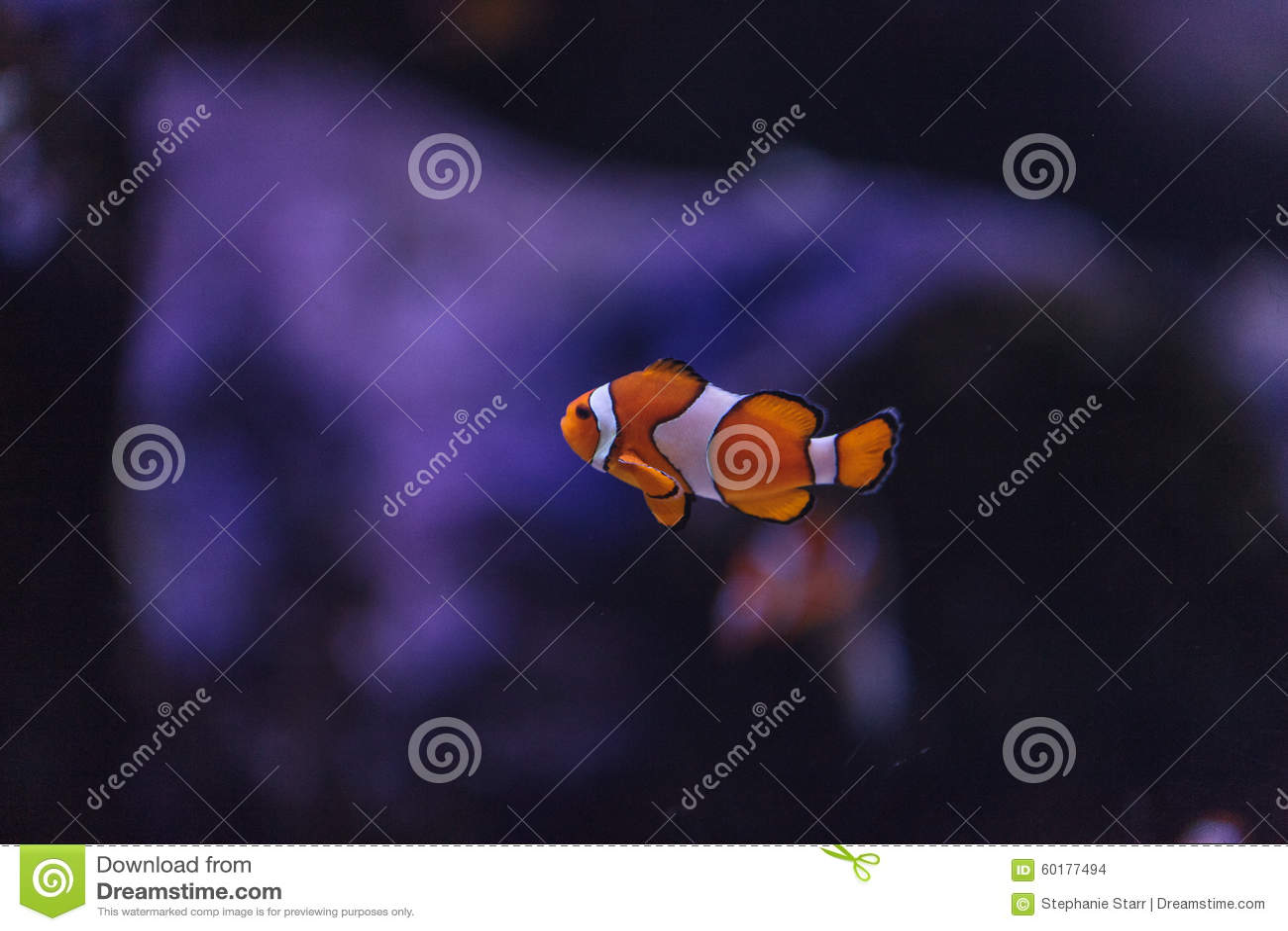 Clownfish, Amphiprioninae