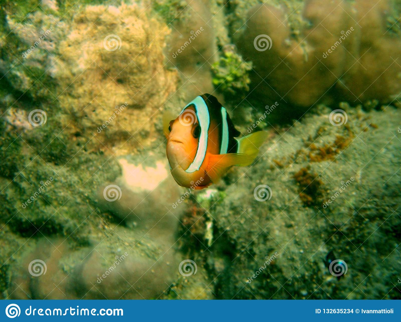 Clownfish Amphirion bij een ertsader in de Indische Oceaan