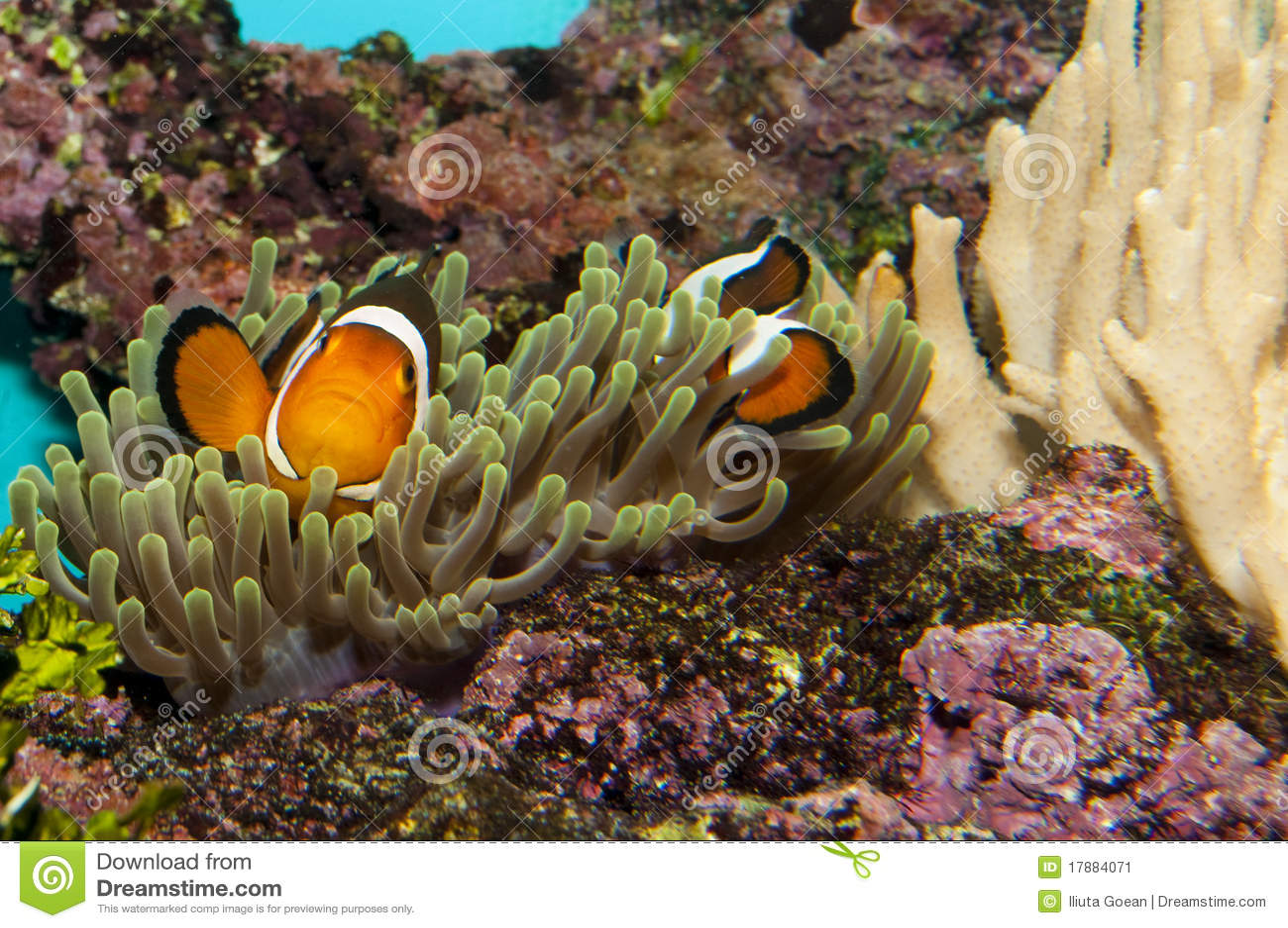 Ocellaris clownfish anemone - photo#16