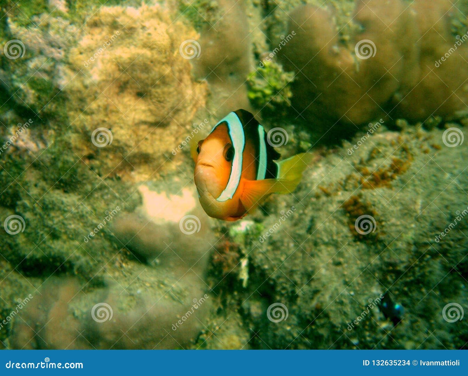 Clownfish Amphirion przy rafą w oceanie indyjskim