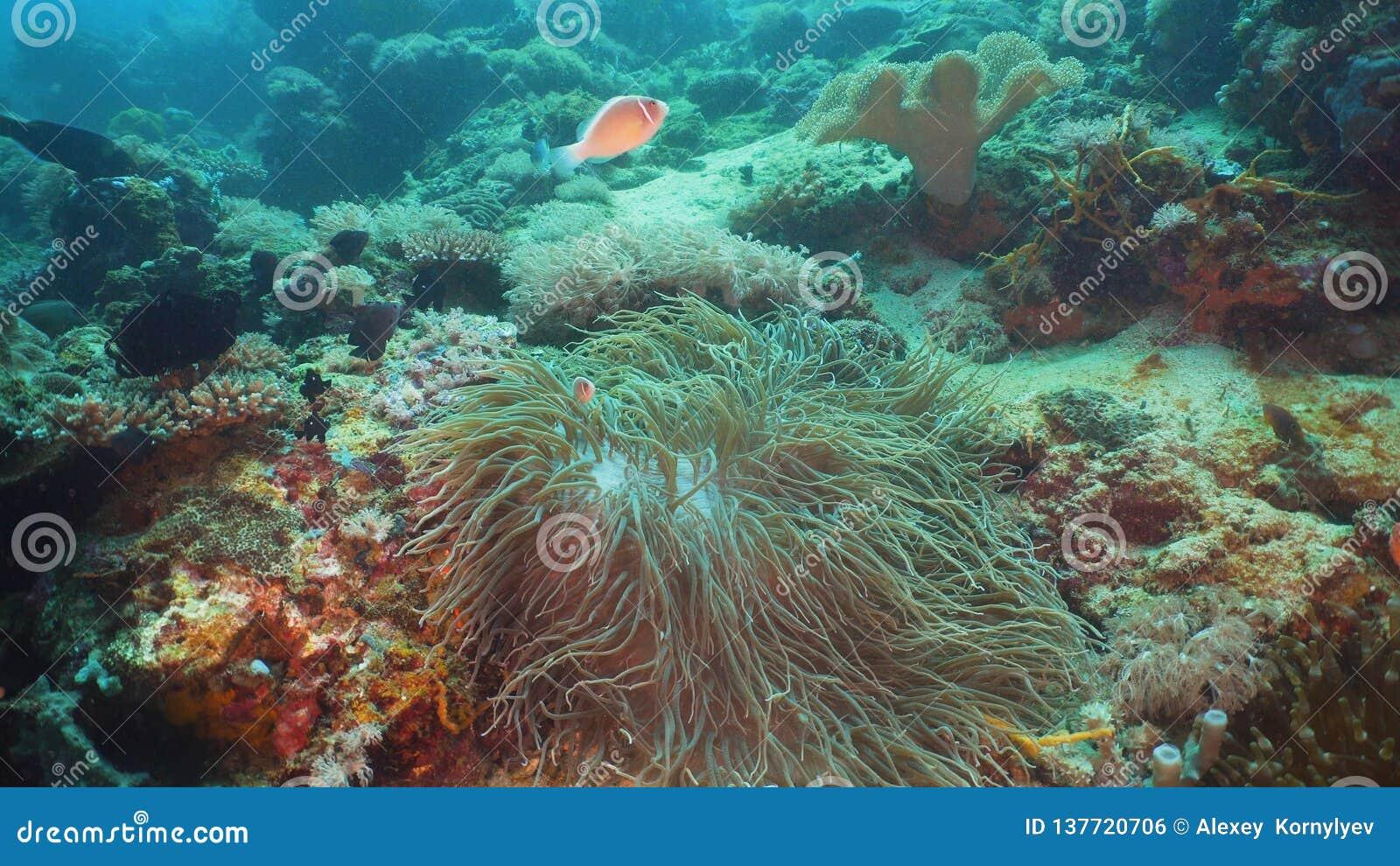 Clownfish Anemonefish w aktynach