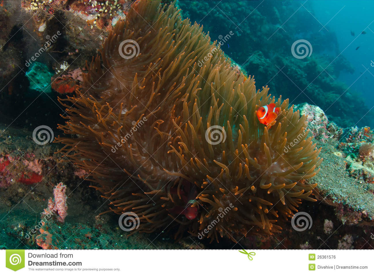 Clownfish in anemoon