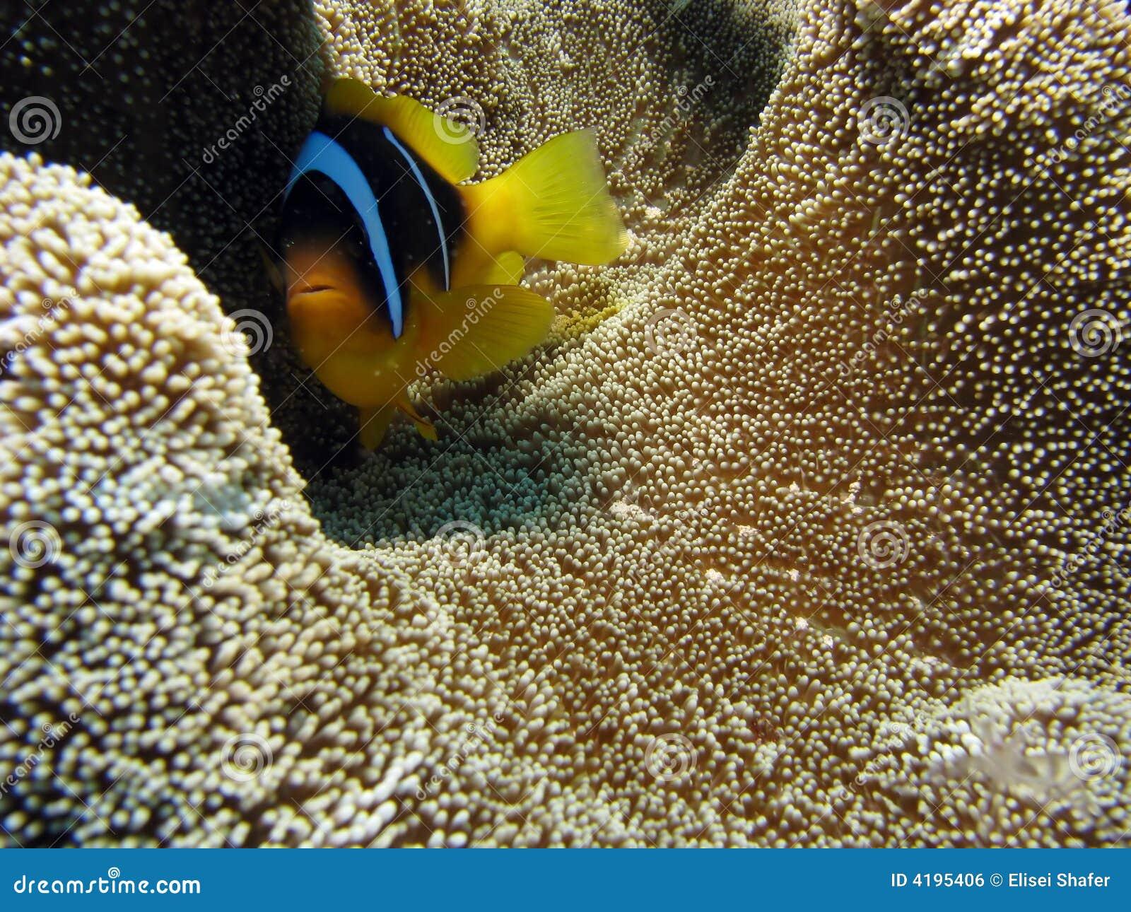 Clownfish Auf TeppichKoralle Lizenzfreies Stockbild