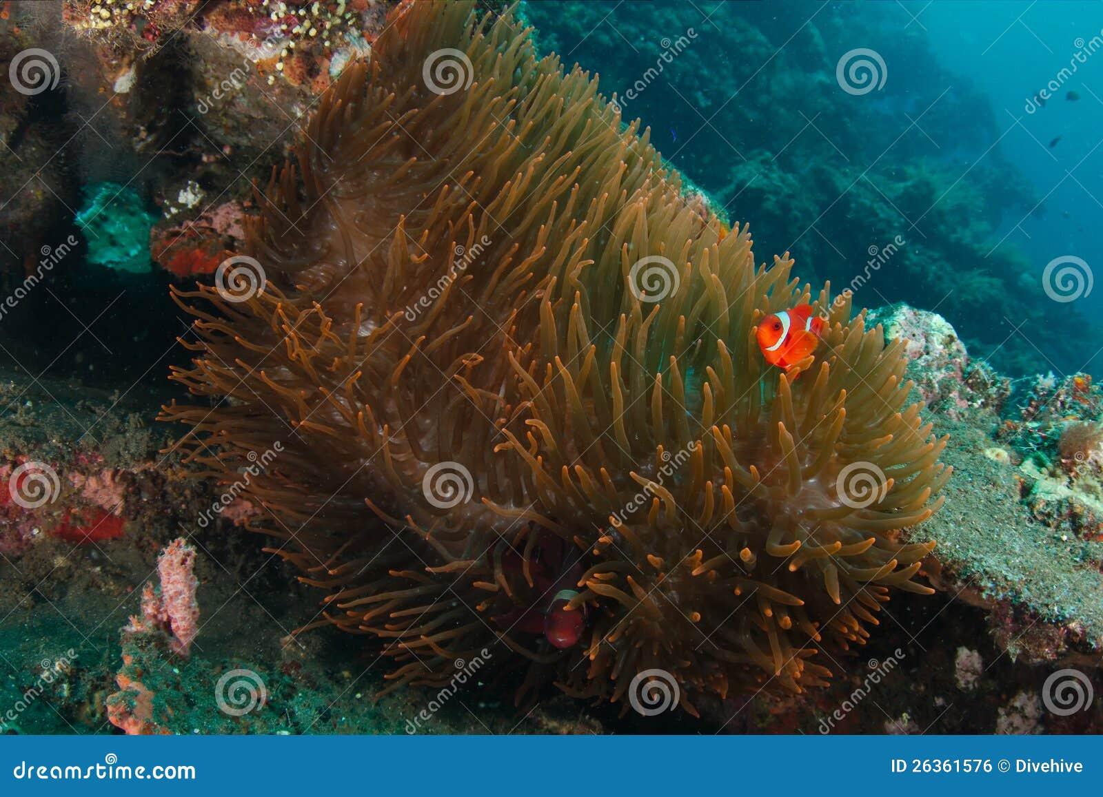 Clownfish in der Anemone