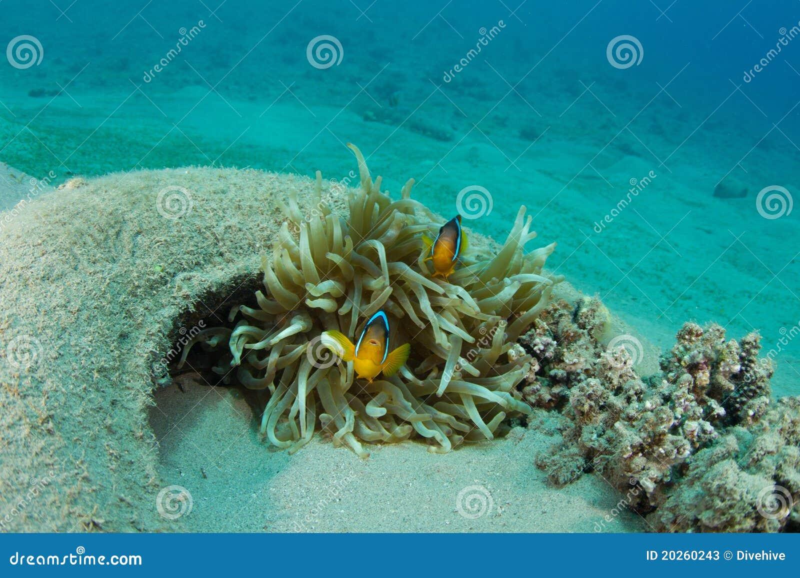 Clownfish in dumped car tyre