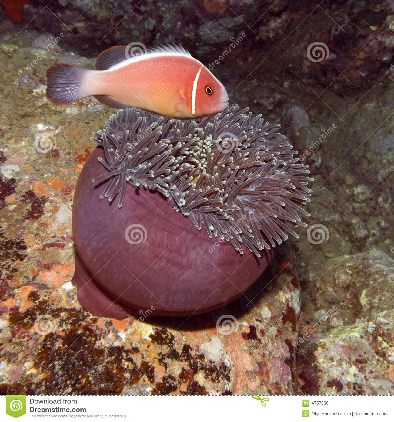 Clownfish and eating anemone royalty free stock photos for What do clown fish eat