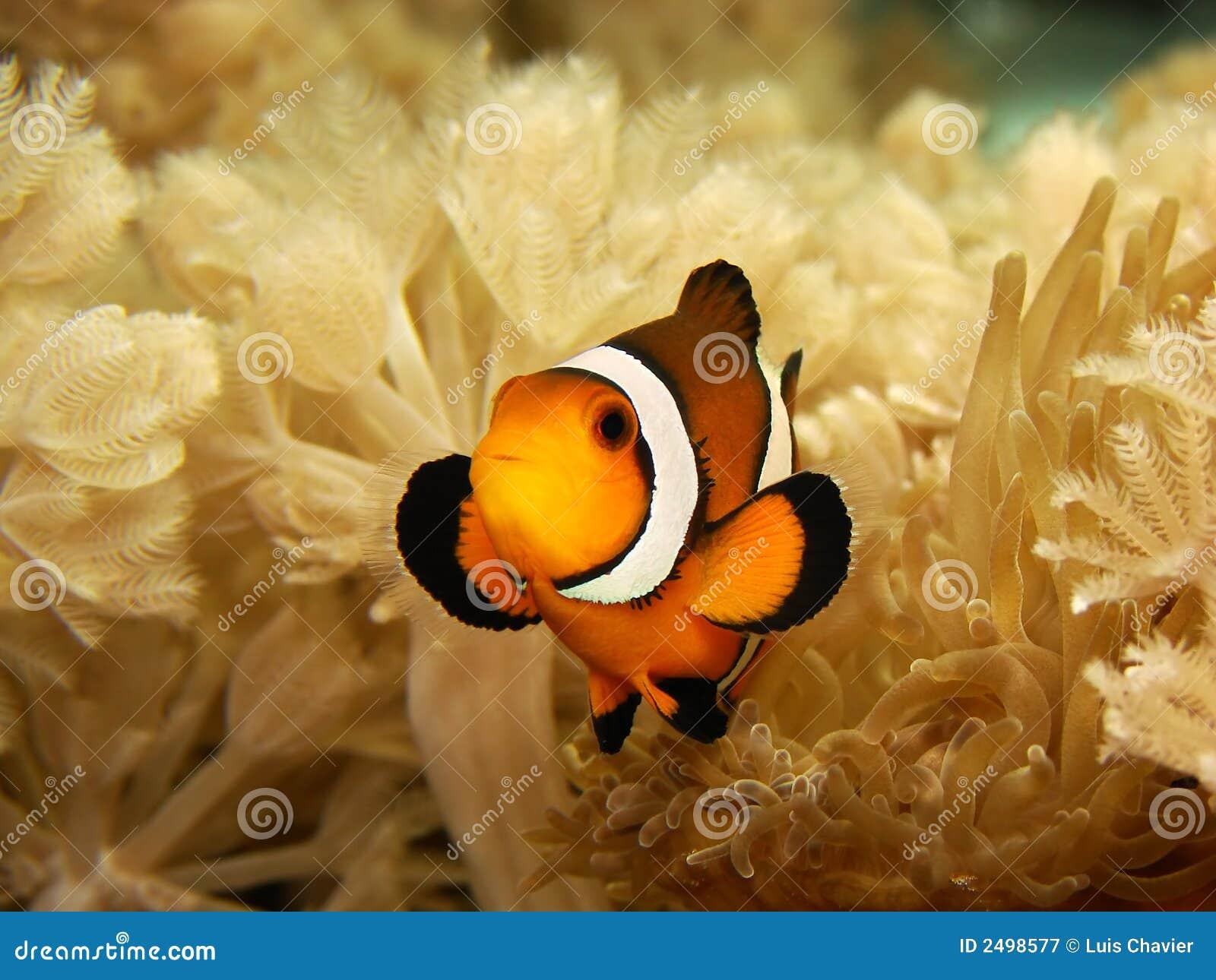 Clownfish en Anemoon