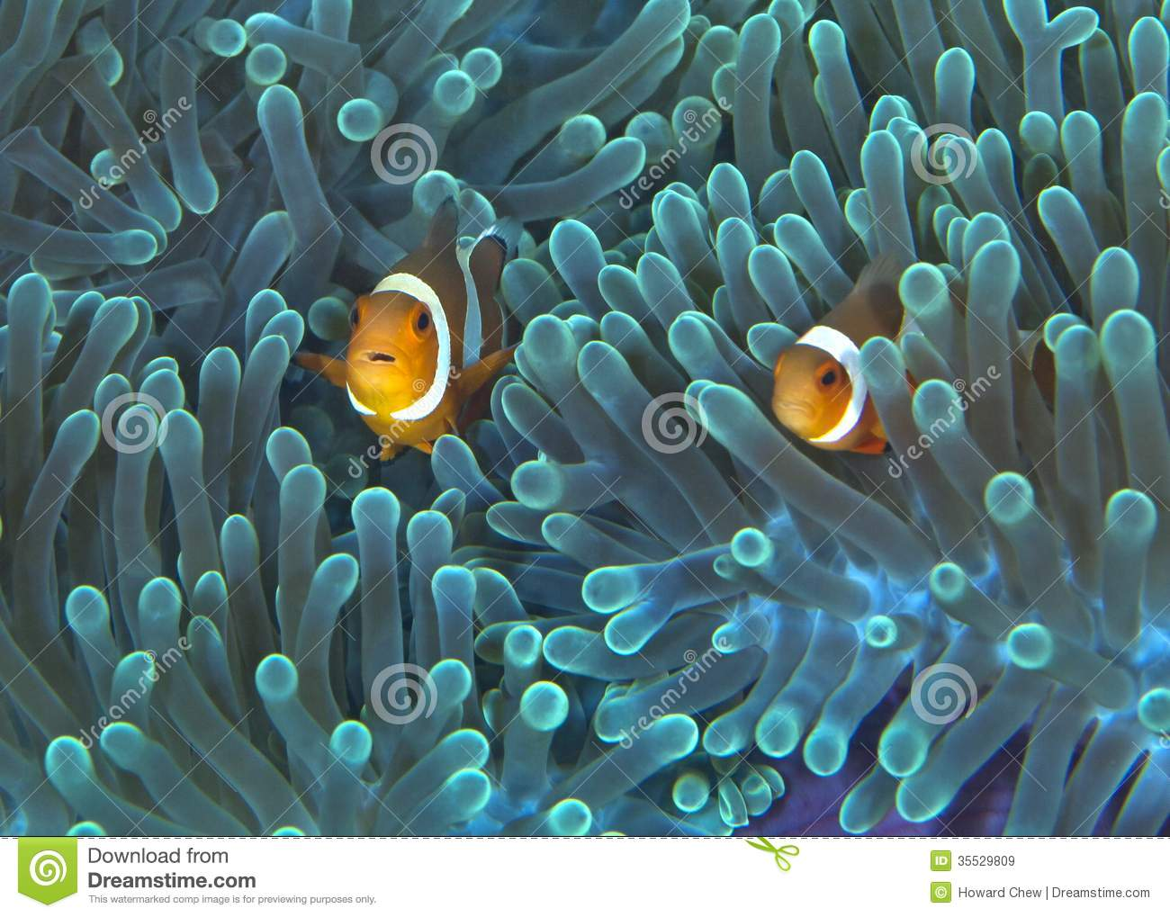 Clownfish In Fluorescent Green Anemone Royalty Free Stock