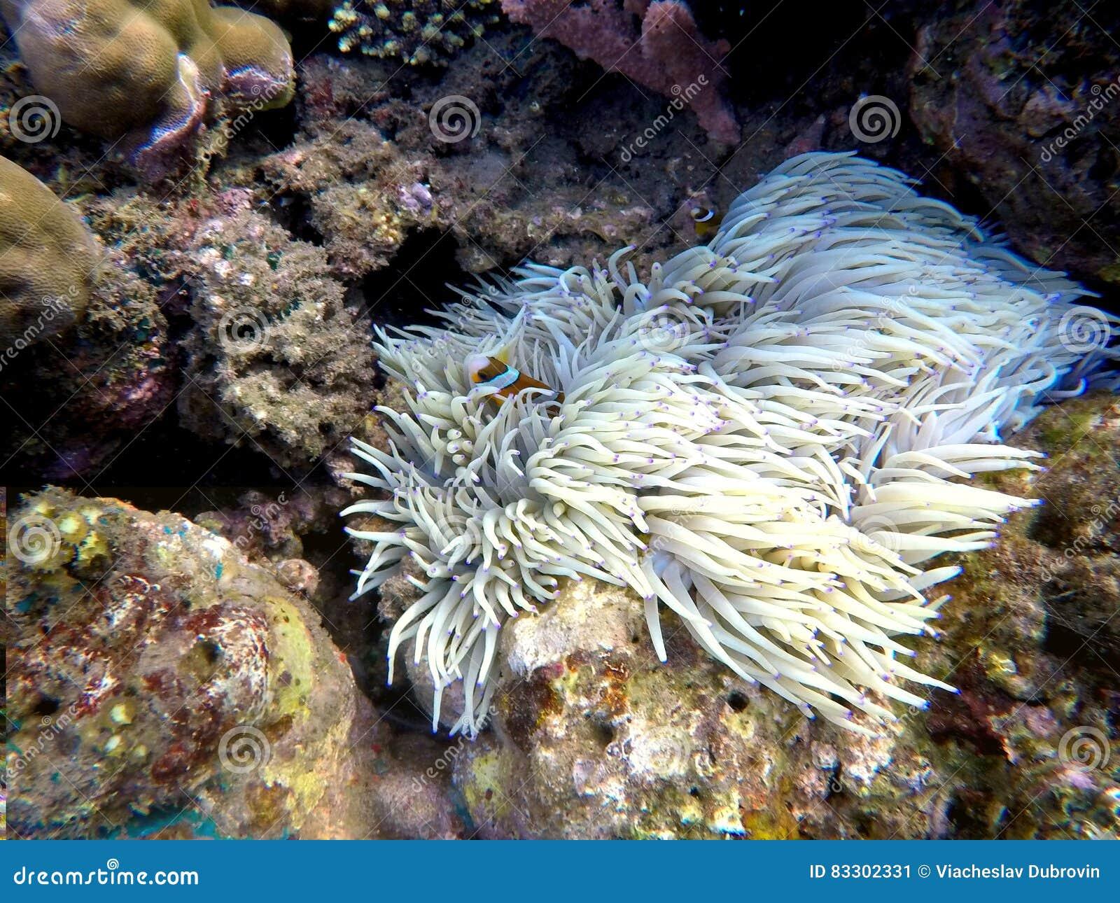 Clownfish i actiniaväxtinsida en rund korall Apelsin och vit gjord randig clownfisk