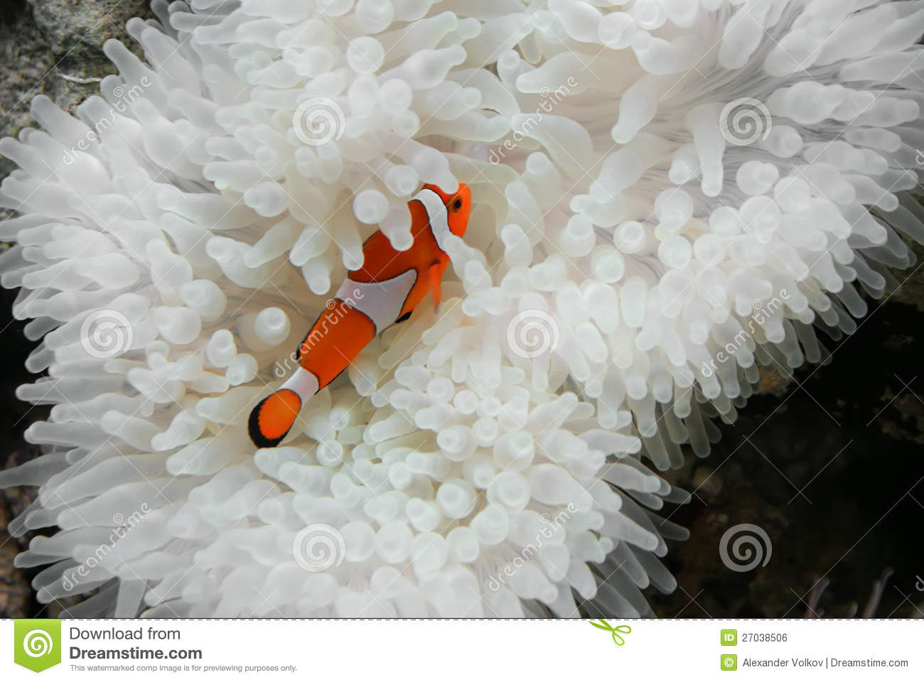 Clownfish i anemon