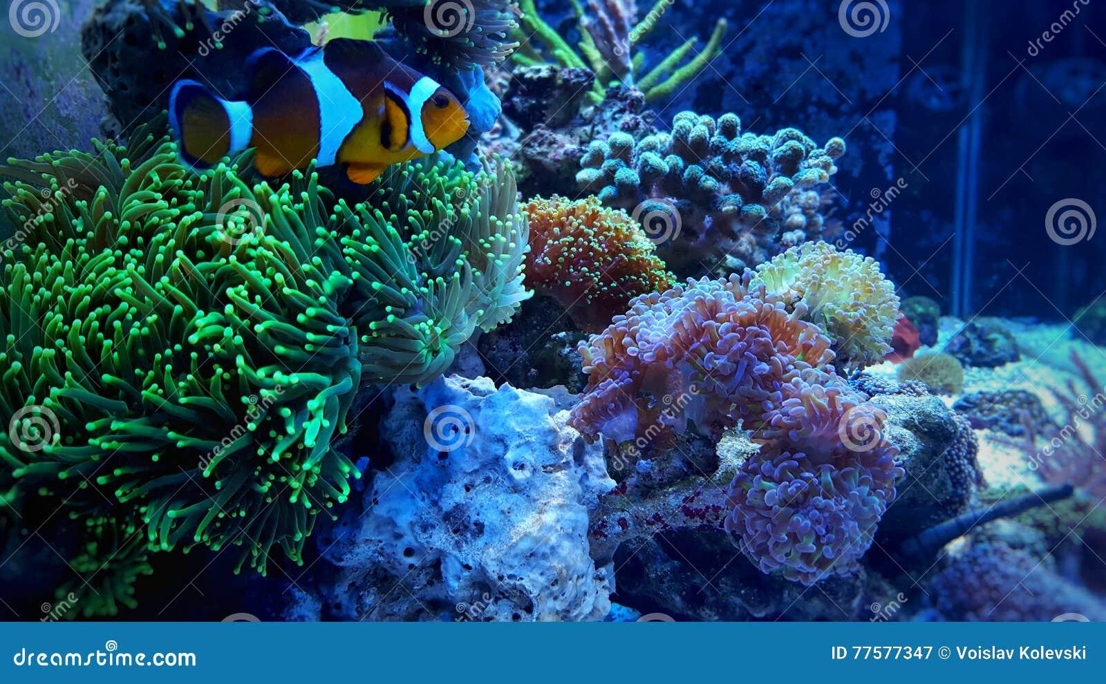 Clownfish nemo on green coral