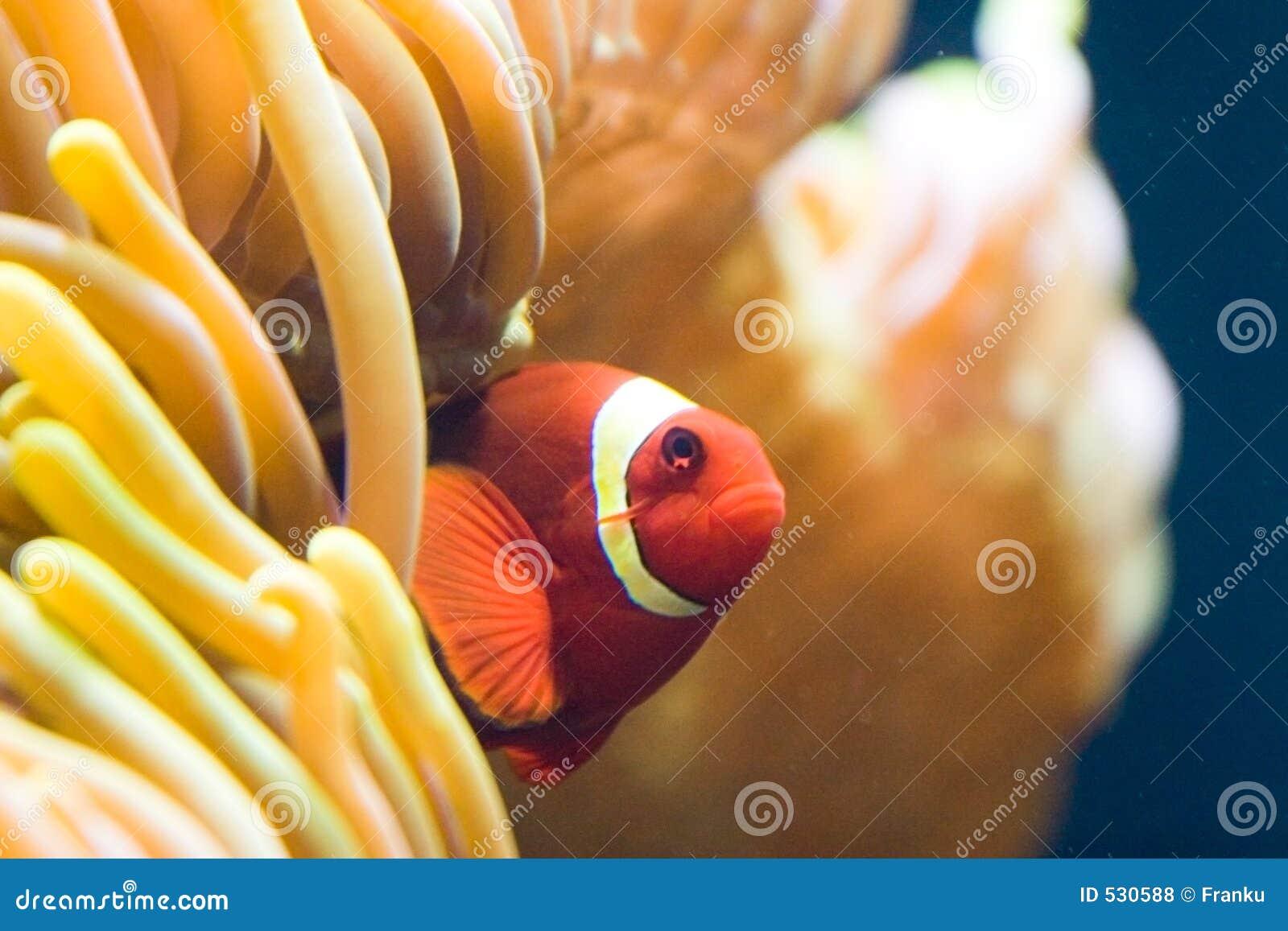 Clownfish no anemone