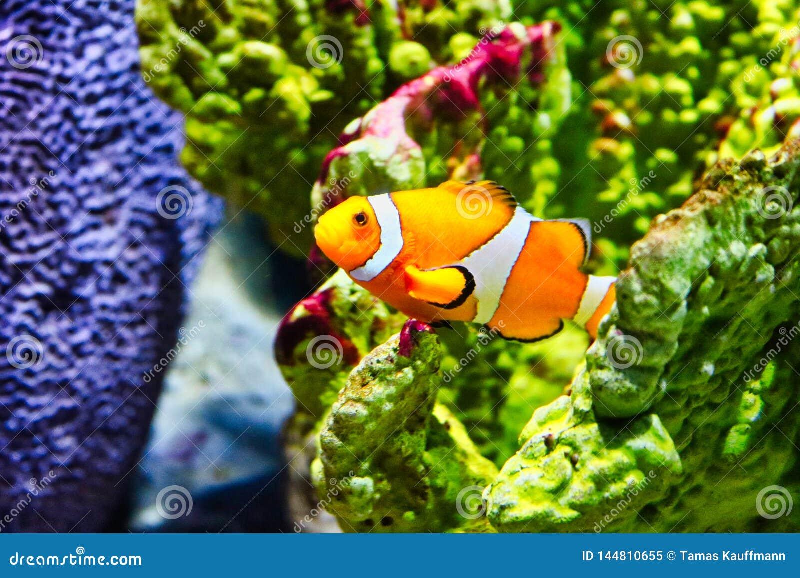 Clownfish no aquário da vida marinha em Banguecoque