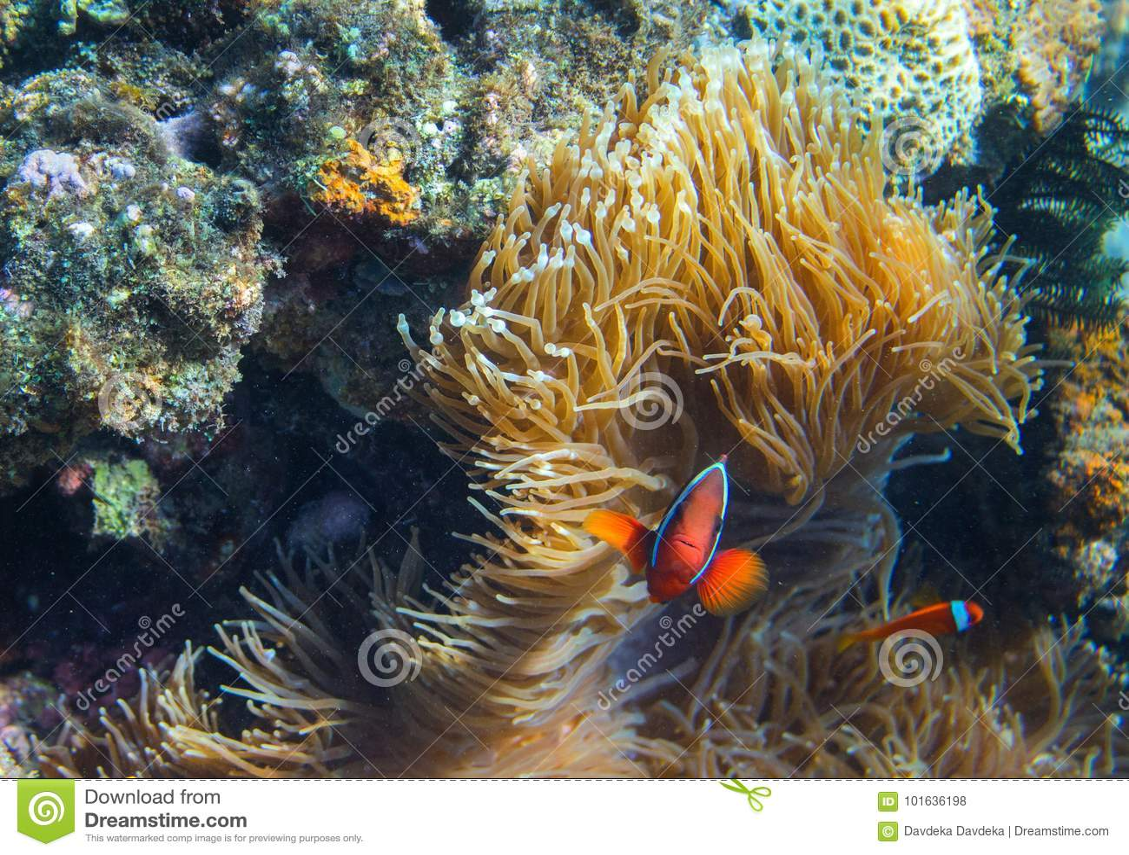 Clownfish rodzina w aktynach Tropikalnych seashore mieszkanów podwodna fotografia