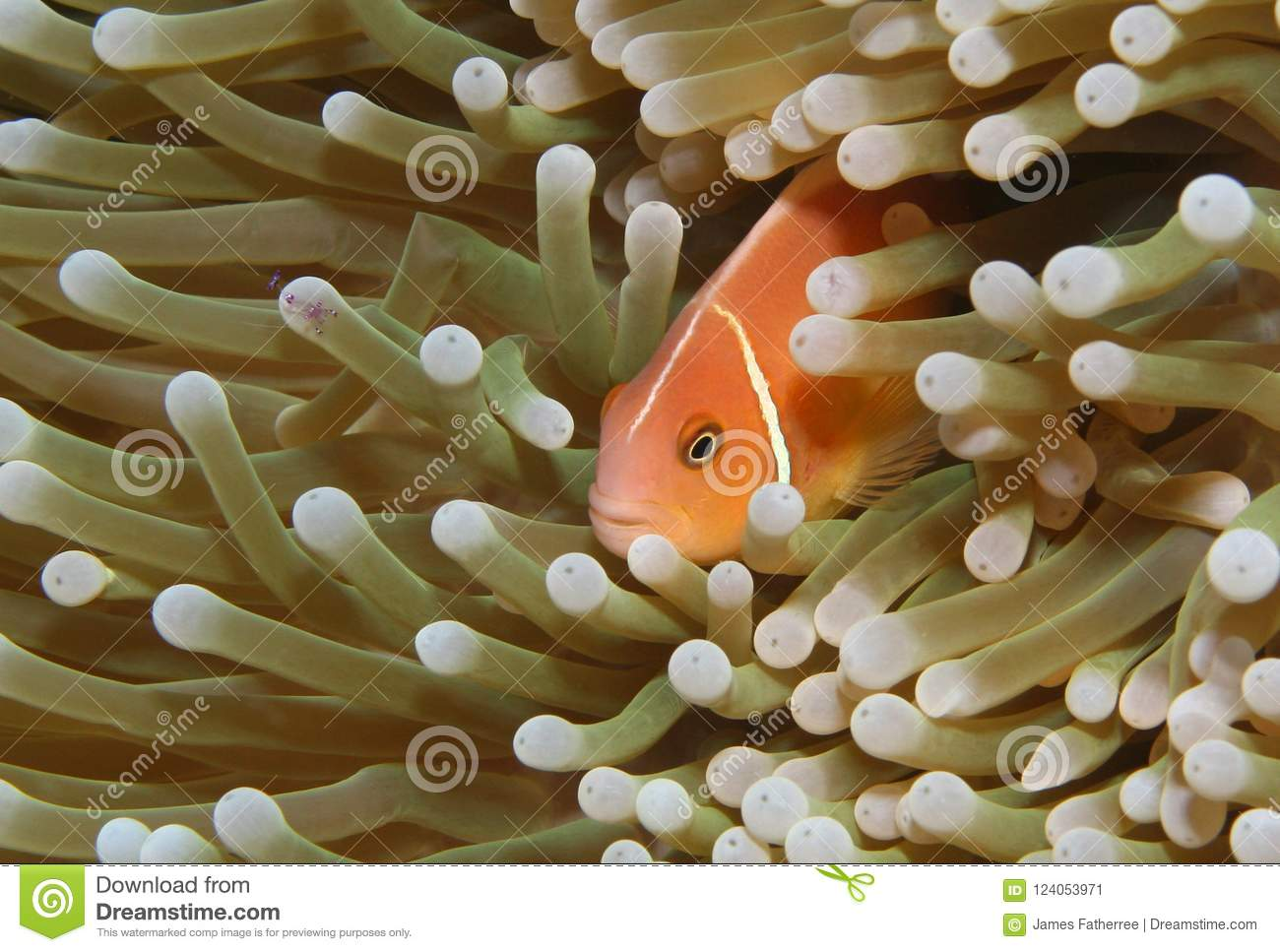A clownfish and shrimp in a sea anemone.