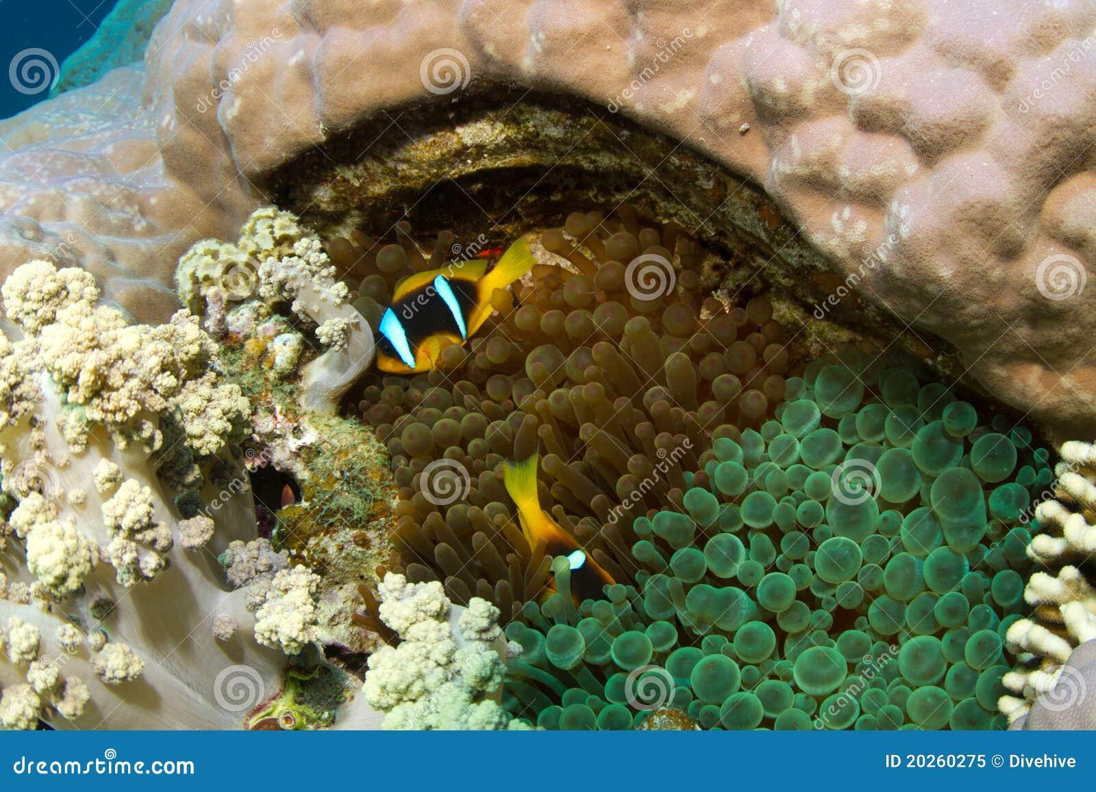 Clownfish in twee verschillende anemonen