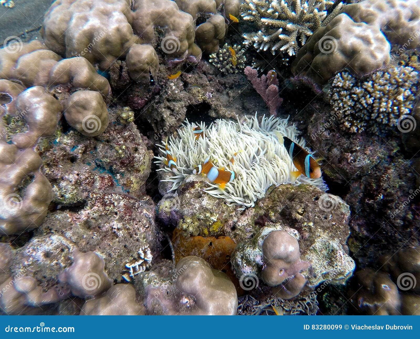 Clownfish w aktyn roślinie wśrodku round korala Pomarańcze i biel paskowaliśmy błazen ryba