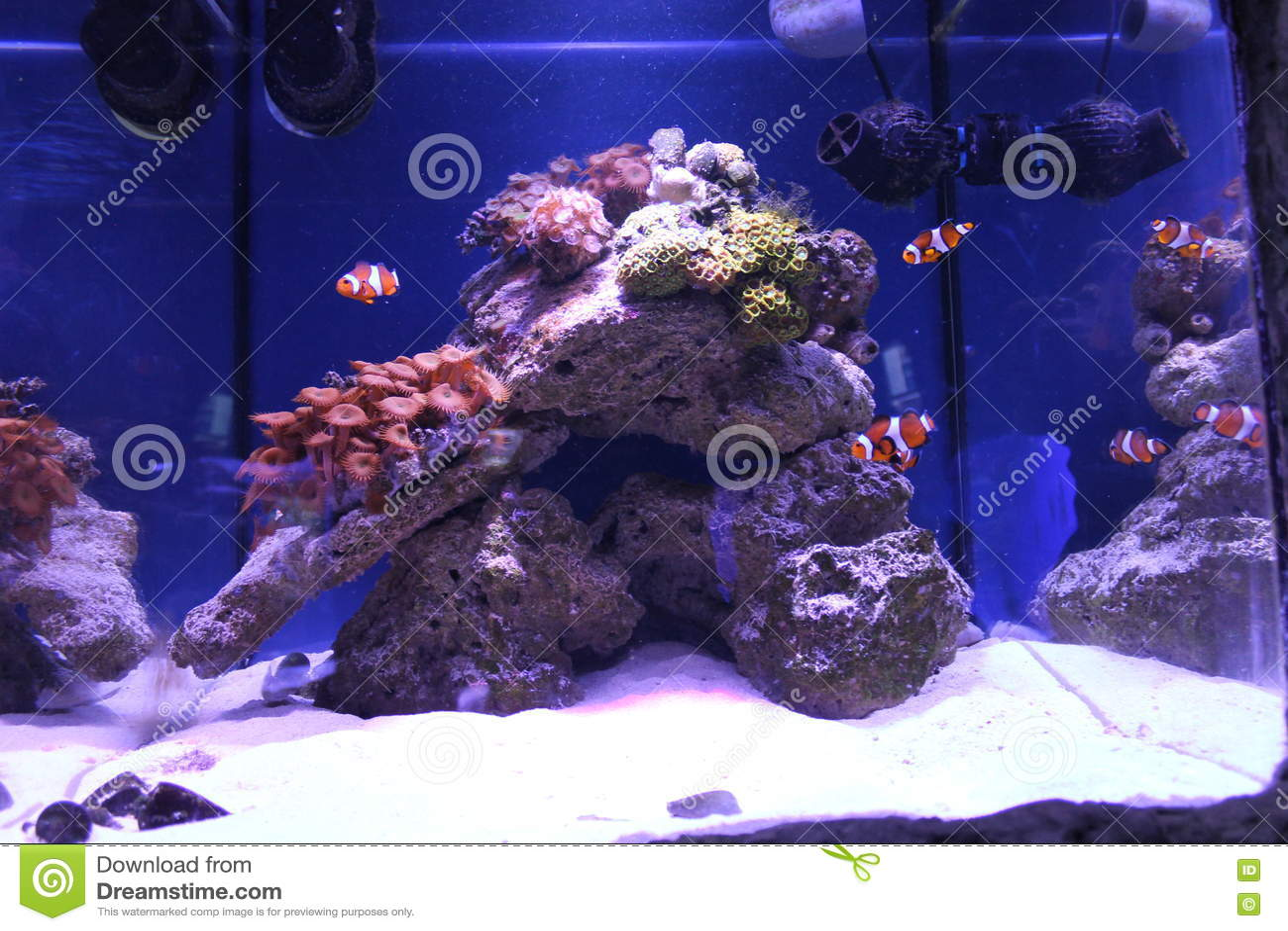 Clownfish w dużym seawater akwarium