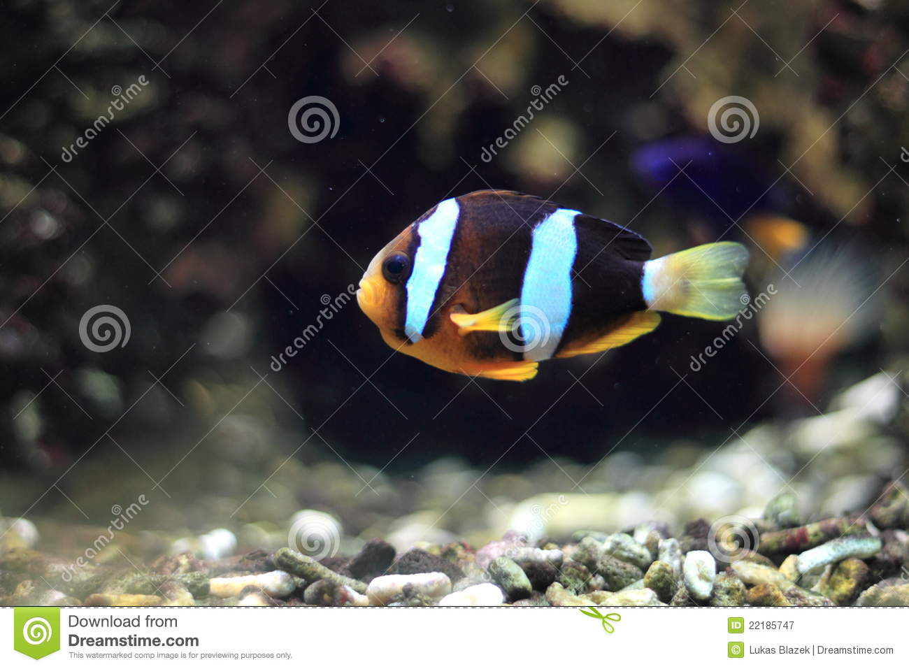 Clownfish yellowtail