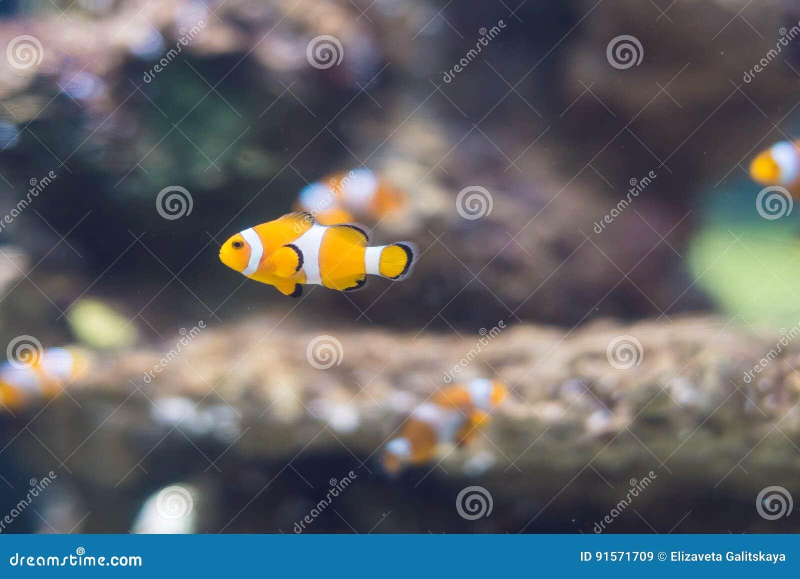 Clownfish in Zoutwater Coral Reef Aquarium