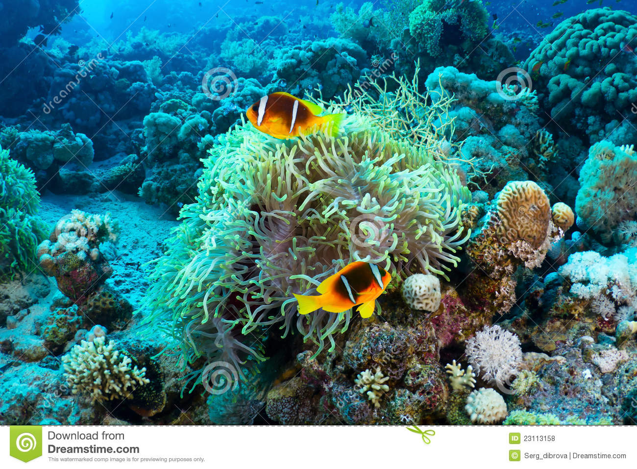 Clownfishes Royalty Free Stock Photos - Image: 23113158