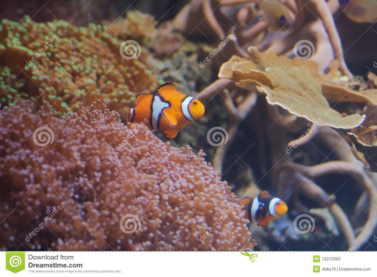 Clownfishes With Sea Anemone Stock Photos - Image: 12212393