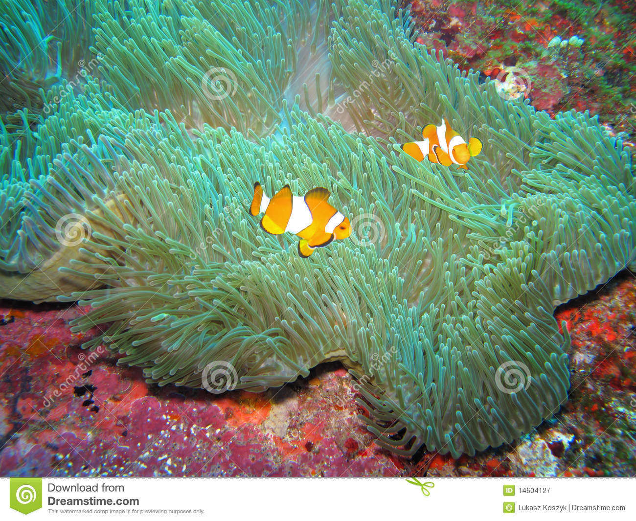 Clownfishes Swimming Around An Anemone Royalty Free Stock ...