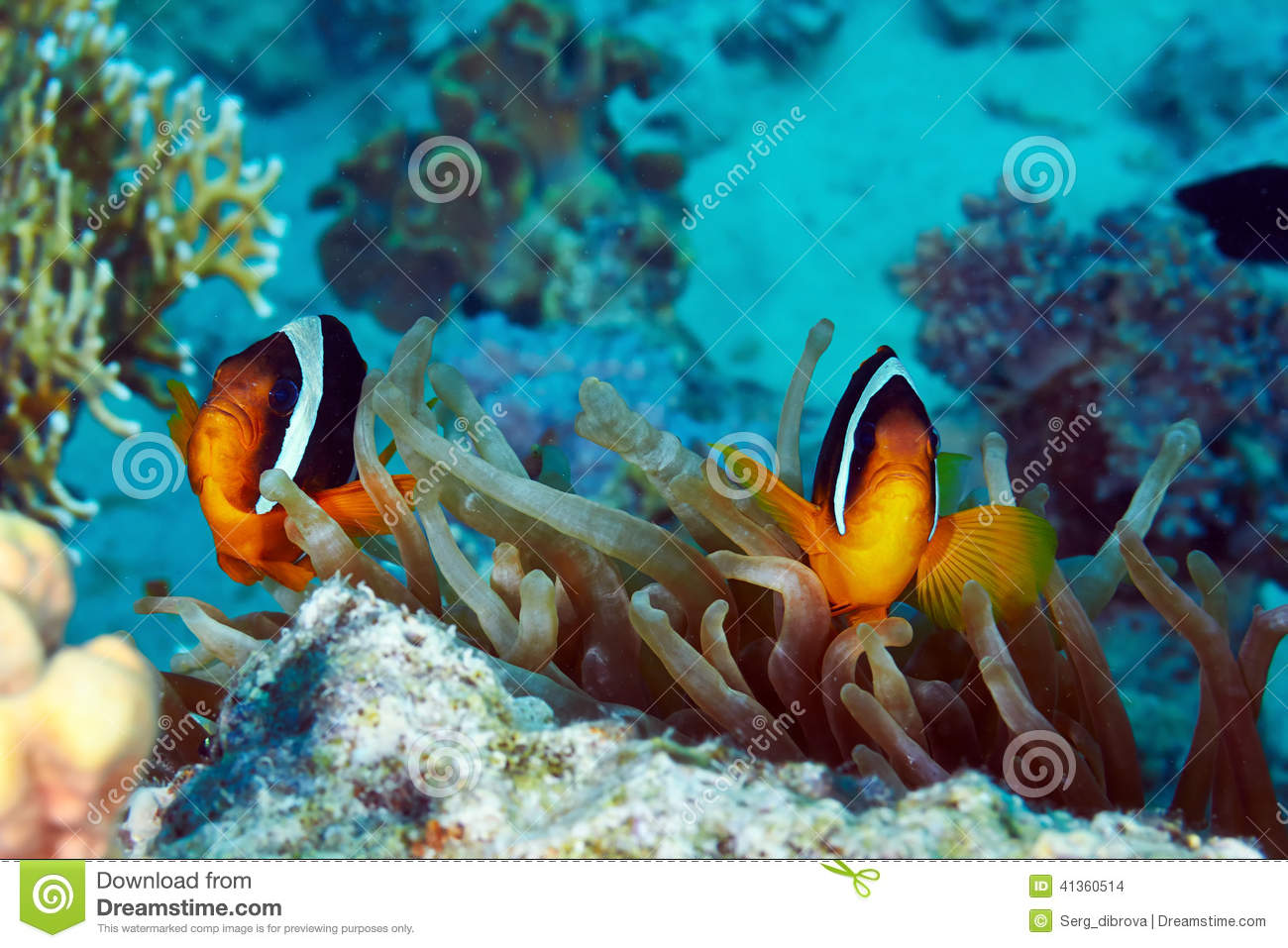 Clownfishes Stock Photo - Image: 41360514