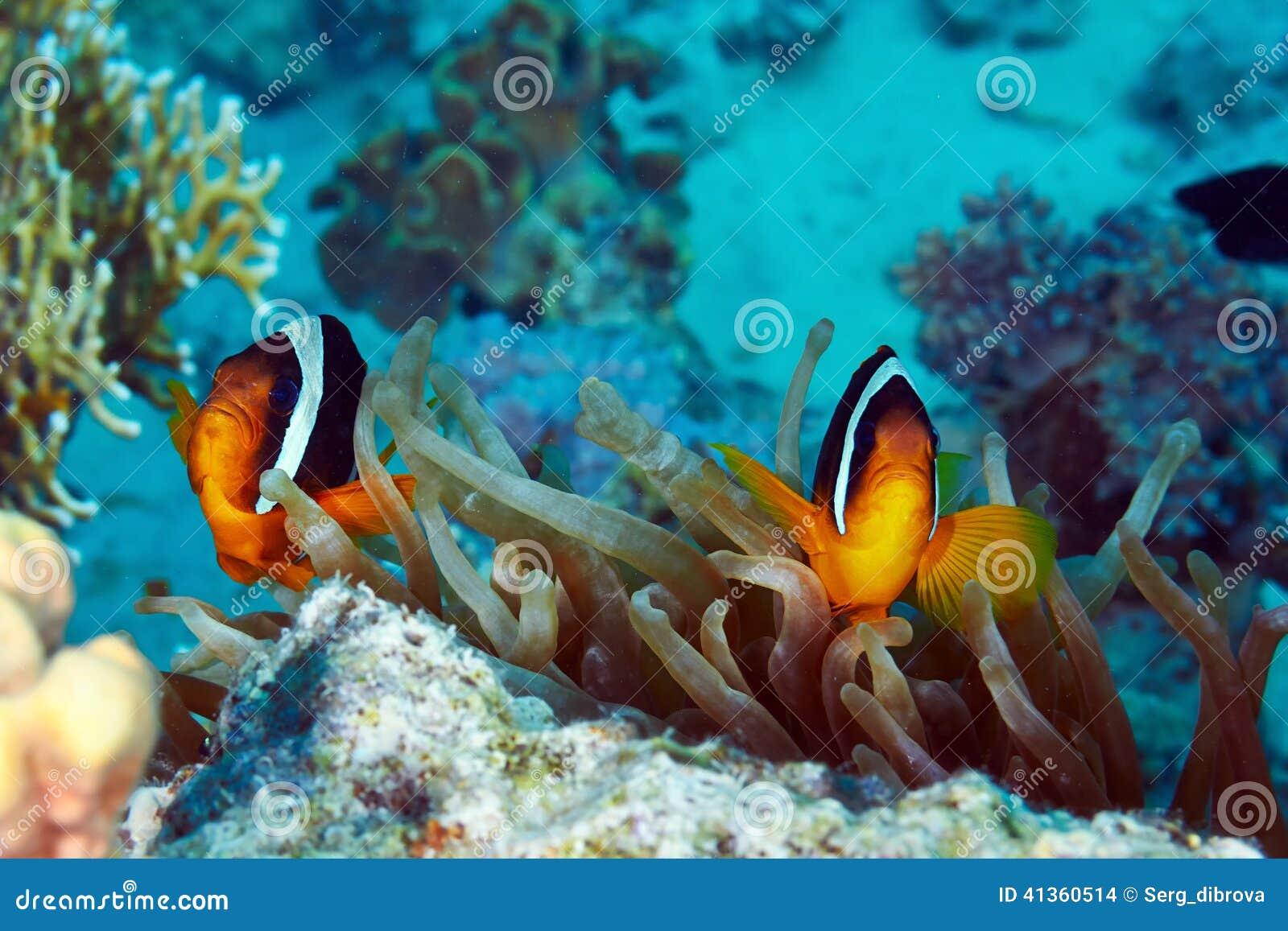 Clownfishes Stock Photo - Image: 41360514