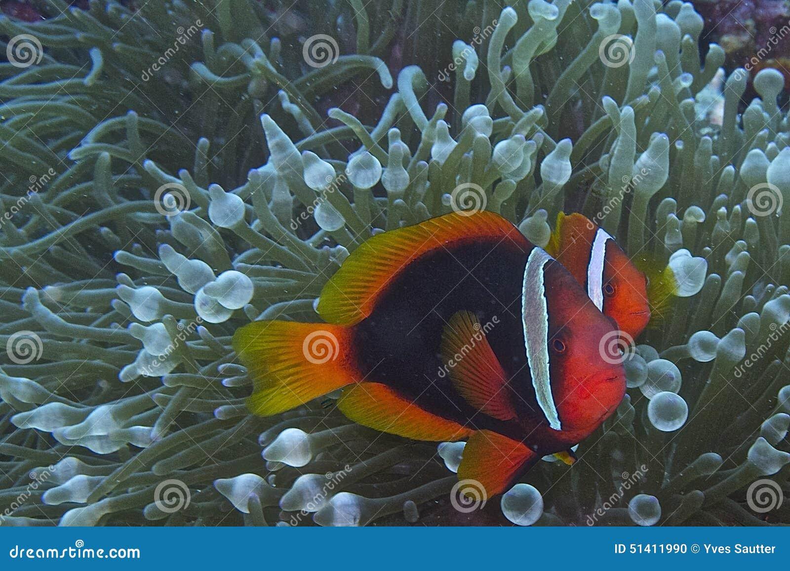 Clownfiskpar