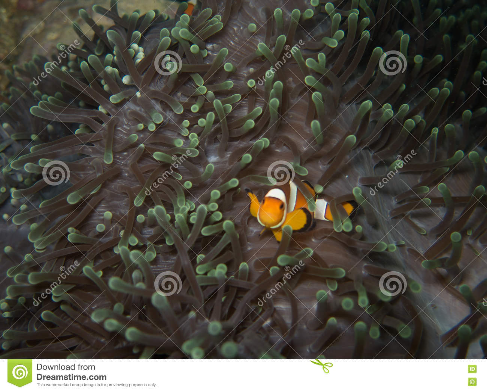 Clownvissen in zacht koraal in Myanmar divesite
