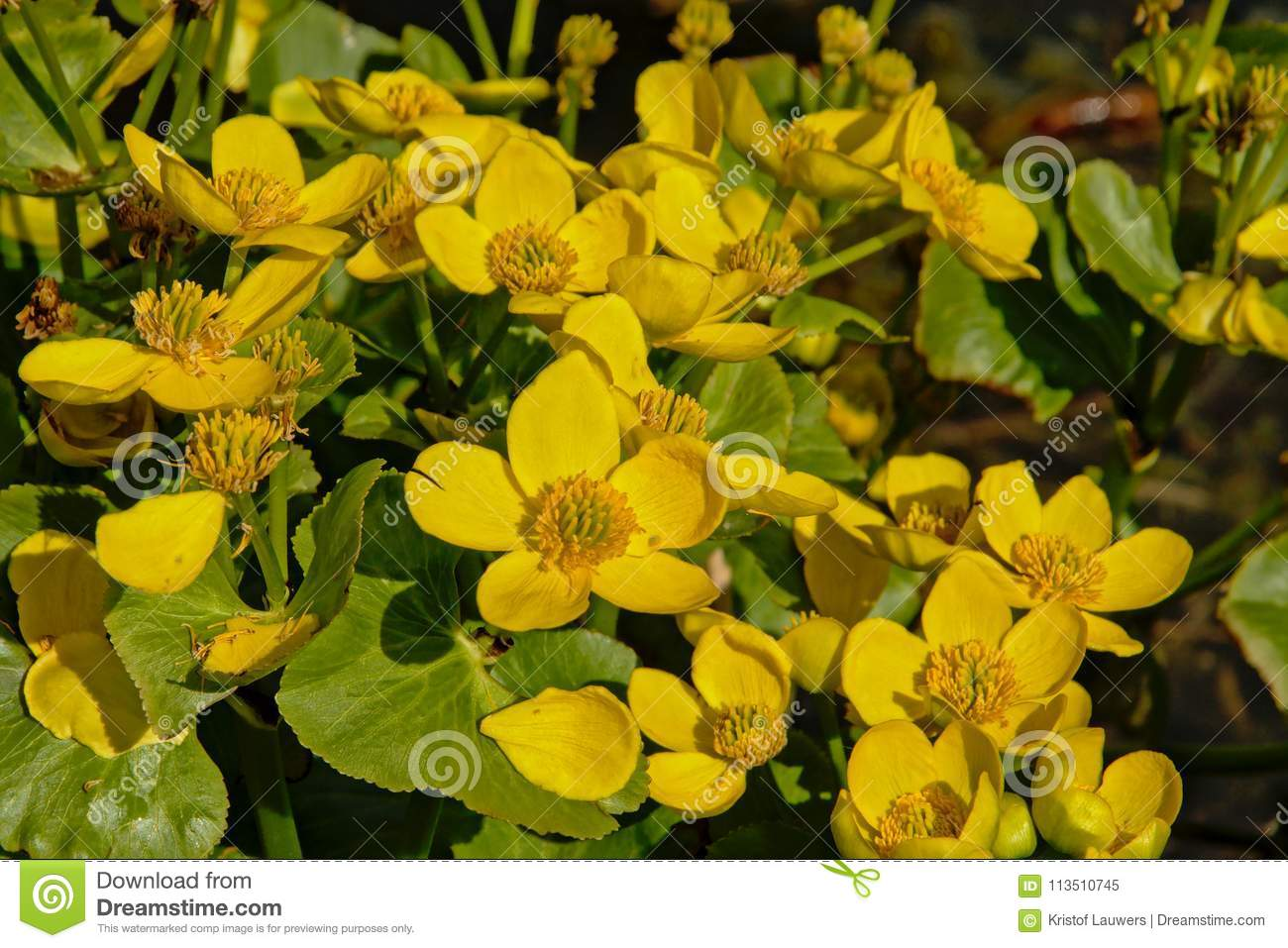 Bright yellow marsh-marigold or kingcup flowers, close up