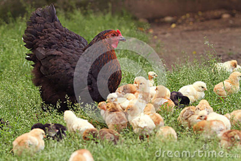 Clucking hen and chicks
